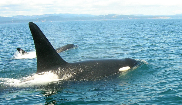 Orcas Canada